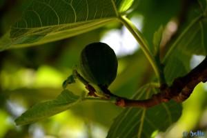Ficus mit Frucht