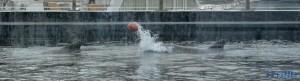 Zwei Delphine mit Ball