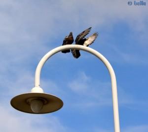 Taube im Anflug - Porto Siberia