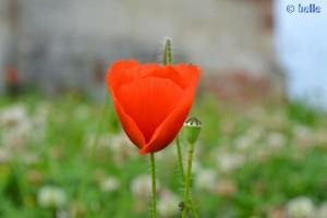 Mohn - ich liebe diese Blume!