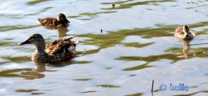 Enten-Mama mit ihren zwei Küken