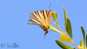 ...noch nie gesehener Schmetterling!