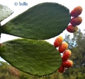 Kaktusfeige - Opuncia ficus-indica - mit Früchten (essbar!) und Regentropfen...