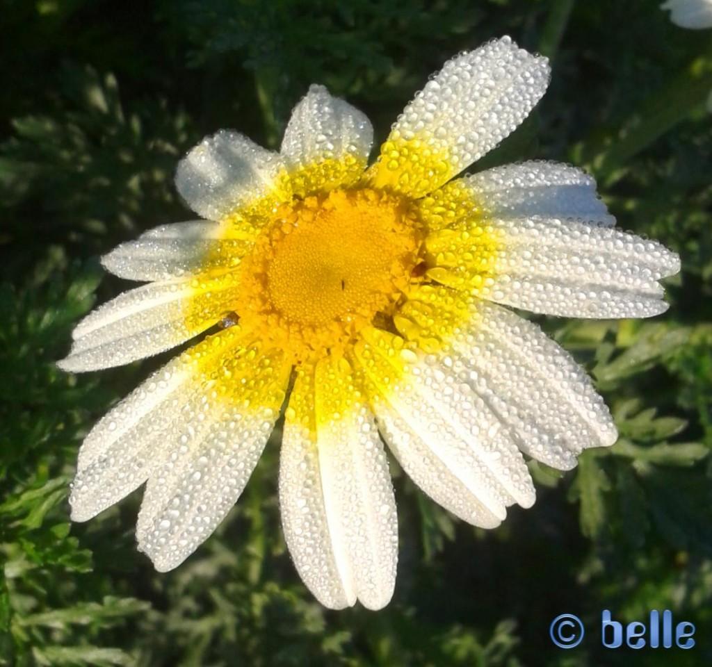 Blüte im Tau