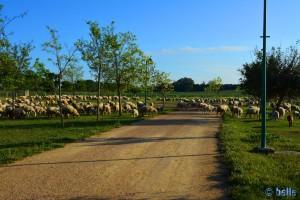 Schafe am Laguna de los Tollos O del Toyón
