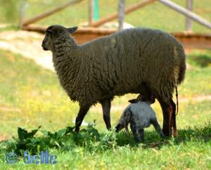 Just born!!! Lämmchen mit seiner Mama