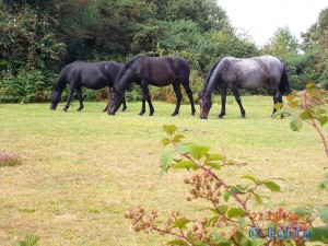 Wild Horses / Ponys in the New Forest