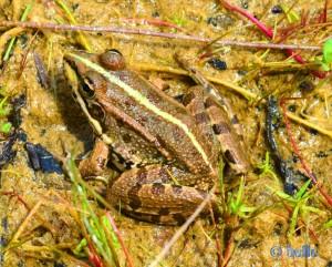 Frosch am Teich von Barão São João