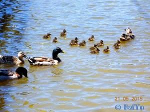 Und nochmals 13 Küken – eine andere Enten-Mama!