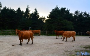 Cows on the Monte Santiago – Spain