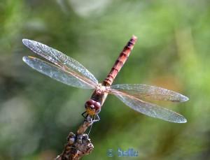 Dragonfly at the Torre de la Carrova