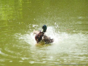 Ente – aufgenommen am 16.06.2005 mit meiner guten alten Minolta Z2
