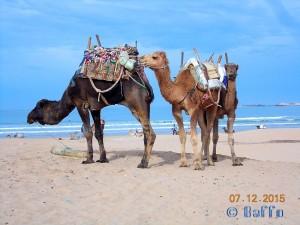 Kamele am Strand - Essaouira – Marokko