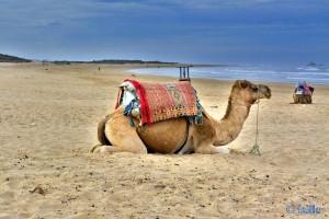 Kamel am Strand - Essaouira – Marokko