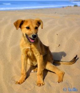 Puppy - Plage Tamri – Marokko