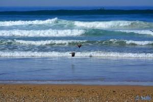 Möwen am Strand von Tamri – Marokko