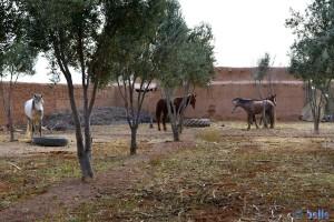 Horses in the Camping Sabra – Laqsabi Tagoust - Marokko