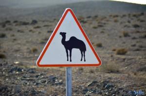 Vorsicht – Kamele kreuzen den Weg!