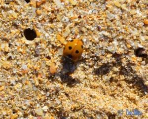 Marienkäfer am Strand von Boujdour – Marokko