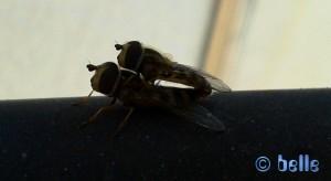 Insekten bei der Paarung – Plage A. - Marokko