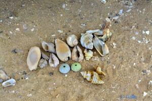 Muscheln und Seeigel-Skelette – Plage A. - Marokko