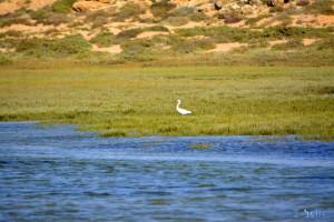 Reiher in Dakhla – Marokko