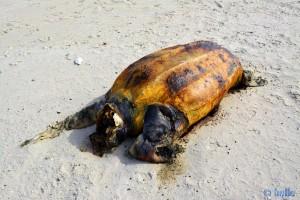 Verendete Riesen-Schildkröte am Cap Barbas – Marokko