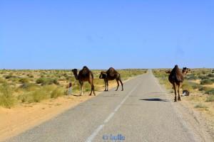 Vorsicht Kamele! On the Road to Aoussard – Marokko