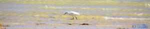 Seidenreiher frisst einen Fisch - Dakhla – Marokko