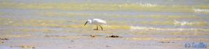 Seidenreiher hat einen Fisch gefangen - Dakhla – Marokko