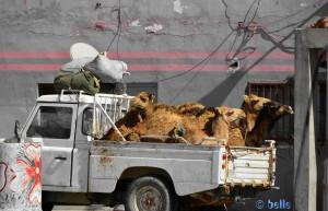 Kamele einmal anders.... Oued Kraa – Marokko