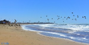 Möwen am Strand von Foum El Oued – Marokko