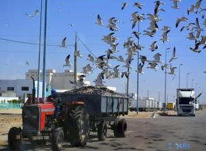 Diebische Möwen - El Marsa – Marokko