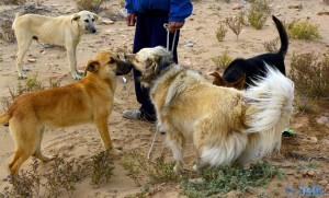 Wilde Hunde begrüssen Nicol - Lac de Naïla (Khnifiss Lagune) – Marokko
