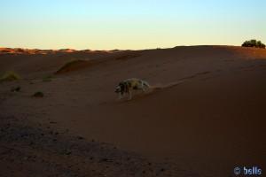 ...um dann wieder wie ein wild gewordenes Fohlen davon zu jagen - Nicol in Merzouga - Erg Chebbi – Marokko