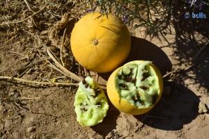 Melonenähnliche Früchte - Marokko