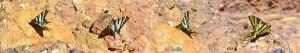Collage - Wunderschöner Segelfalter-Schmetterling - Aït Ben Haddou - Marokko