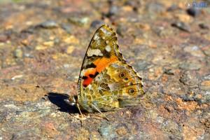 Schmetterling am Barrage D'Aït-Aadel – Marokko