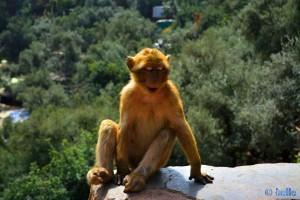 Mein Lieblings-Bild - Berberaffe in Ouzoud - Marokko