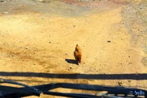 Das Huhn will nicht weg - Barrage Ahmed el Hansali – Marokko