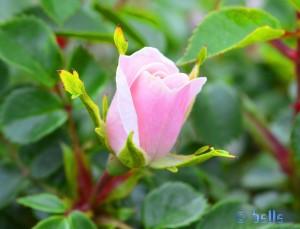 Zerbrechliche Rose in zart Rosa - Imperia – Italy