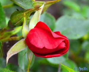 Rote Rose und Knospe - Imperia – Italy