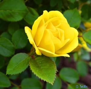 Gelbe Rose - Imperia – Italy
