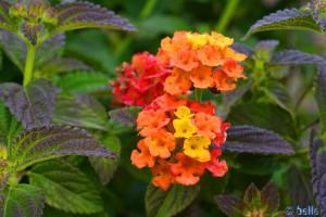 Farbenfrohe Mini-Blüten - Imperia – Italy