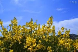 Blüten mit betörendem Duft - Imperia - Italy