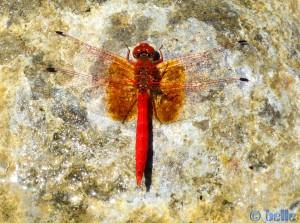 Rote Libelle am Rio Mijares - Montanejos – Spain