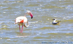 >Flamingo at Salinas de San Pedro del Pinatar - Spain