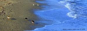 Strandläufer am Playa la Romanilla – Spain