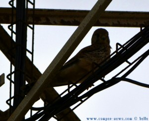Falke auf der Jagd - Playa de los Lances Sur - Tarifa – Spain
