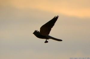 Falke mit Beute - Playa de los Lances Sur - Tarifa - Spain
